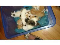 Appicot kittens van bengal mix