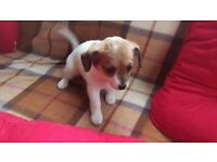 Jack Russel cross Chihuahua puppy