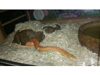 Corn Snake and full a set up.