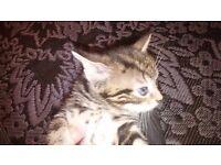bengal kitten for sale