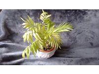 POT PLANT - indoor Palm