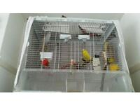 Two lovely Budgies with cage