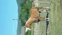 8 yr old Registered Partberd Arabian mare
