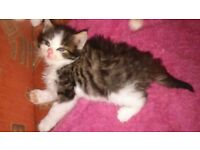 Siberian fluffy kitten