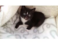 14 weeks 2 black and white kittens girl and boy 60 pound food tray and cage provided for free