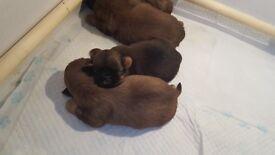 stunning shihtzu pups(small type)
