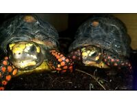 2 x 5yr old redfoot tortoises