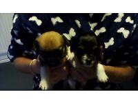 Chiwhawha x x jack russell puppies