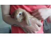 Giant french lop x chinchila face lop