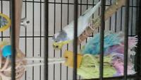 Baby budgies 5 months old for sale