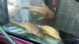 3x large albino plecos more 1ft long