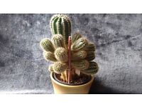 CACTUS Plant with babies attached