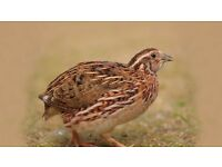 Male Corturnix quail free to a good home Suffolk/Norfolk border