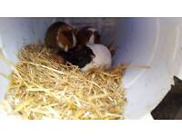 4 guinea pigs for sale (offers)