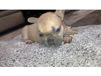 full breed 6 French bulldog pups for sale