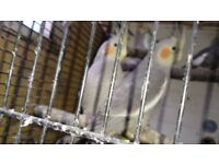 Selling some Cockatiels