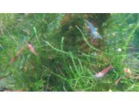 Shrimps, snails 10- 10£