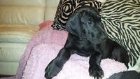 SOLD Beautiful baby Great Dane SOLD