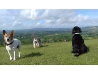 Need a trustworthy Dog Walker? Professional Service covering Belmont, Sutton, Kingston, Wimbledon