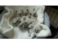 Female ragdoll kittens