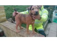 Dog for sale Lakeland x patterdale