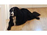 Bernese mountain dog x Labrador needs new home
