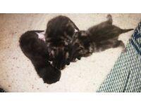 Bengal kitten and black,white kitten