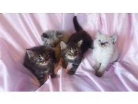 Ragdoll x kitten's