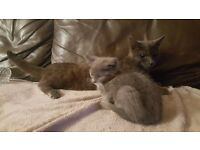 Russian Blue kittens Liverpool