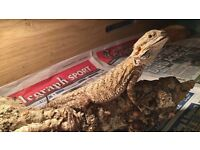 9 Month old bearded dragon for sale !!** £130*