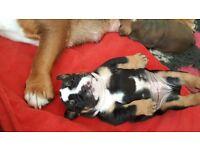 English Bulldog puppies fo sale