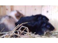 3 male guinea-pigs 9 weeks old