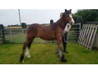 Clydesdale x friesian