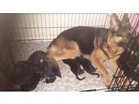 2 boy german shepherd pups