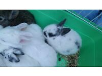 Cute baby dwarf rabbit for RESERVE
