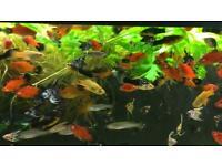 Tropical fish/ Angelfish/ Danio zebra / Mix Platy