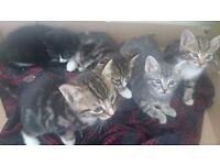 Kittens for sale bengal