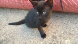 Beautiful black kittens.