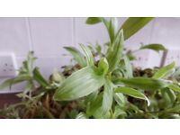 Variegated Wandering Jew House Plant (Tradescantia Fluminensis) 'Quicksilver' | STUNNING | Leeds