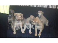 Alaskan shepard x pups for sale