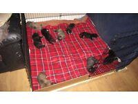 Presa Corso Puppies