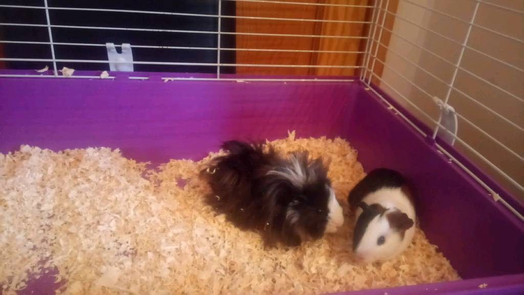 Baby boys Guinea pig with indoor cage