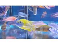 Malawi Cichlid tropical fish NOT marine