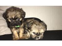 2 beautiful shih tzu puppies