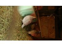 Snowflake quails for sale