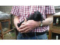 Beautiful black netherland dwarf buck rabbit ready now