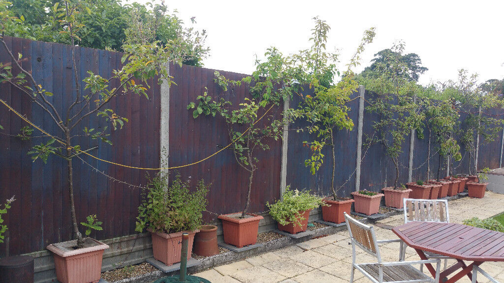 9 x Fruit Trees in Containers