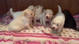 Beautiful Huskita puppies for sale