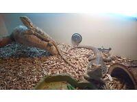 2 Bearded Dragons with Vivarium - Free To Good Home