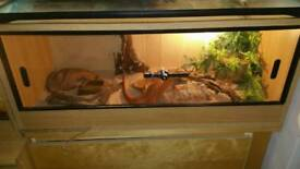 bearded dragon and her entire setup